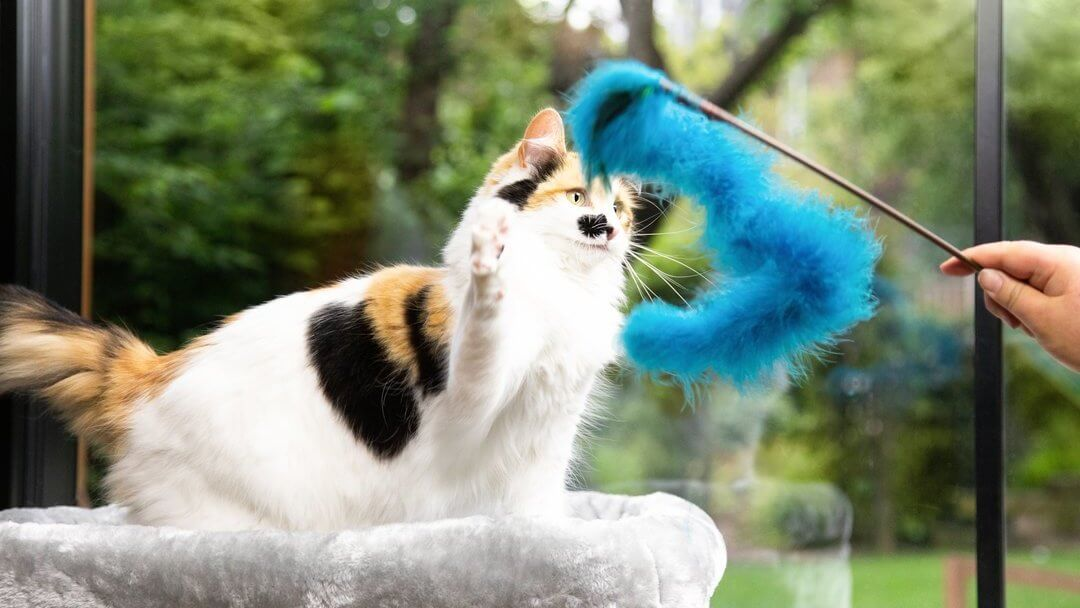 Patch coloured cat playing with blue fur toy