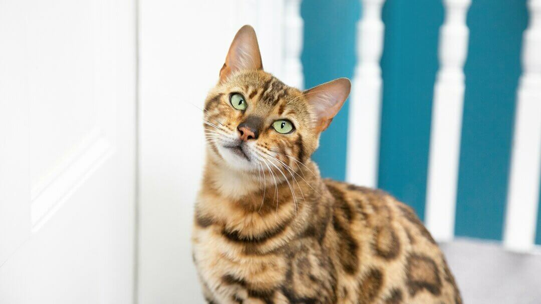 Bengal cat with green eyes and head slightly turned