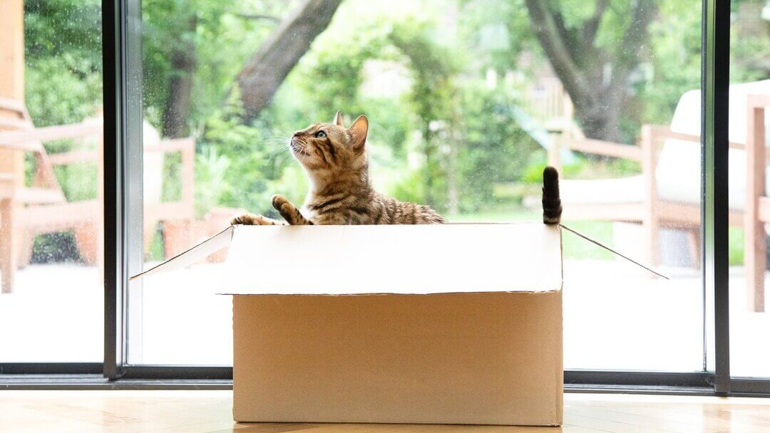 Bengal cat playing in a cardboard box.