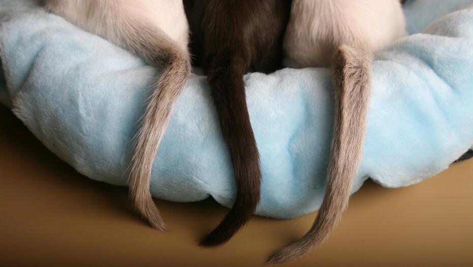 Tres colas de gato en una cama de gato azul claro. ¿Por qué los gatos mueven la cola?