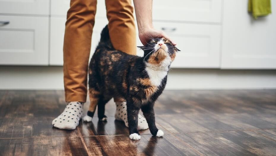 Gato caminando entre las piernas del dueño mientras es acariciado.