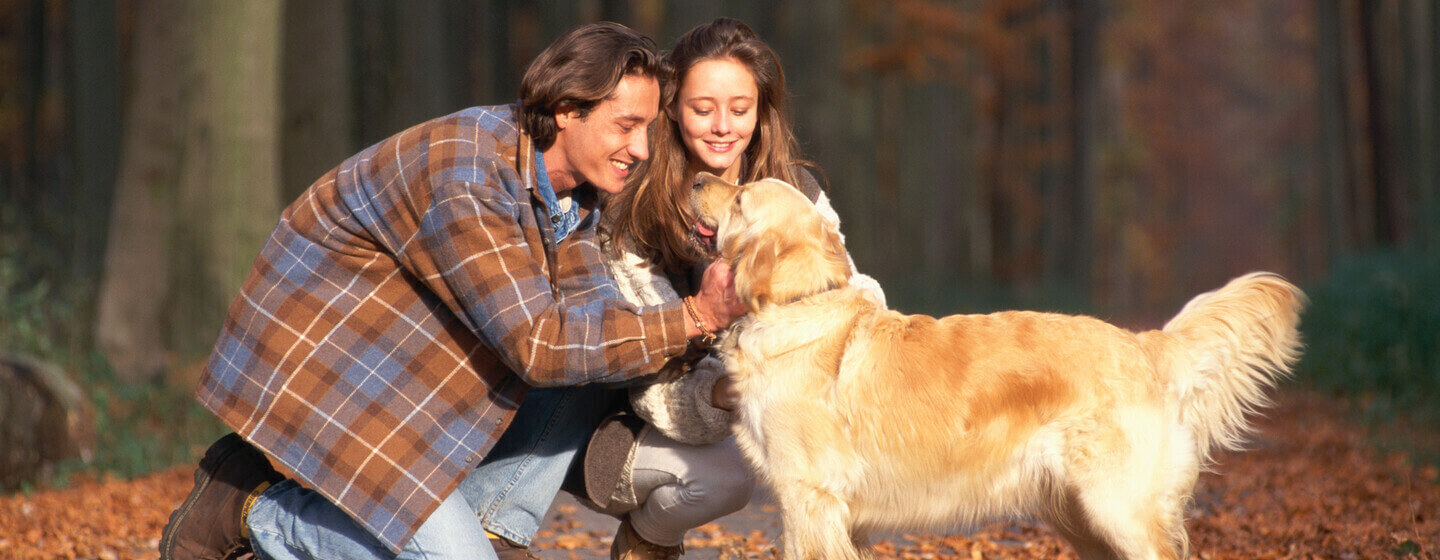 Golden retriever in an autumnal wood being stroked by owners.
