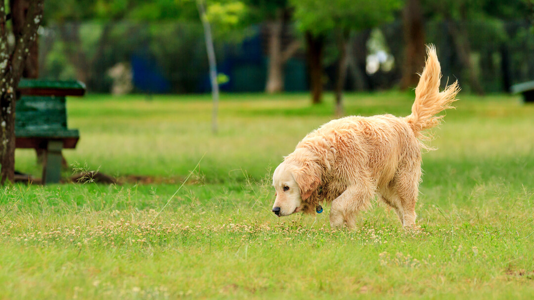 dog sniffing in the grass while wagging its tail