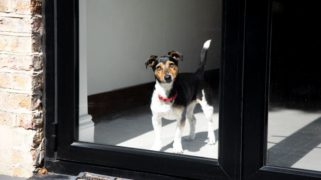 Jack Russell Terrier with red collar looking out of window.