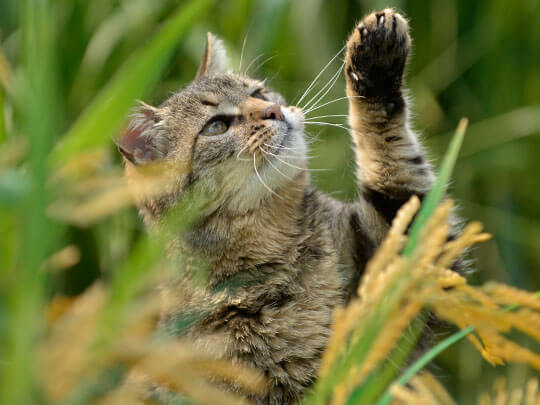 Tabby cat pawing at long grass