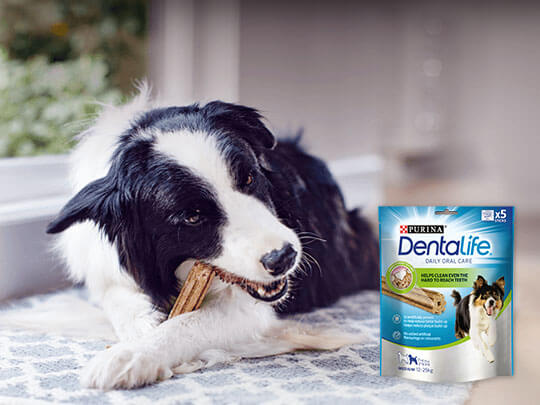 Collie eating a Dentalife sitck with the packet