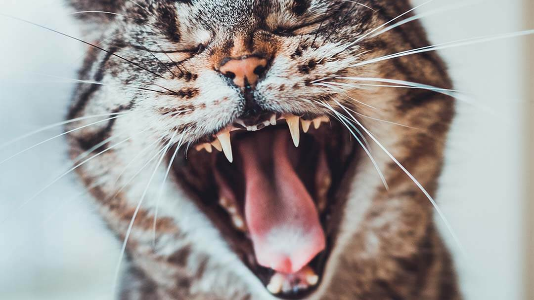 Close up of cat hissing.