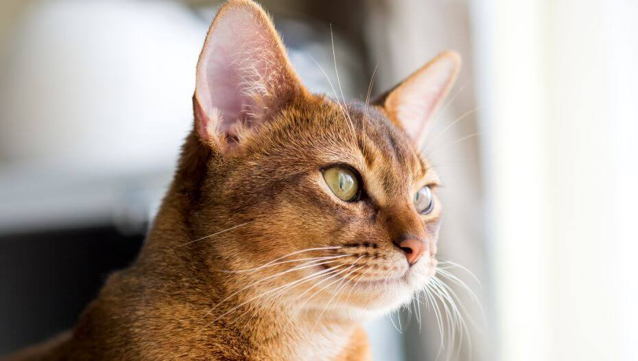 Abyssinian is watching at the window