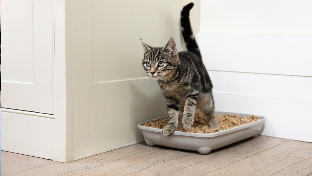 kitten in litter tray