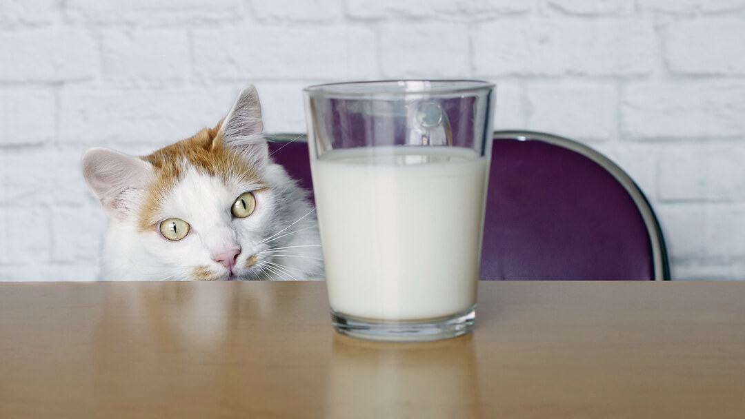 cat looking at milk