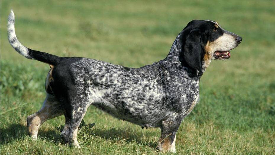 Basset Bleu De Gascogne in the field