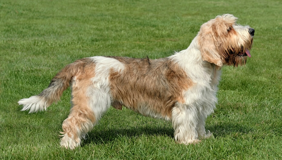 Petit Basset Griffon Vendeen standing on the grass