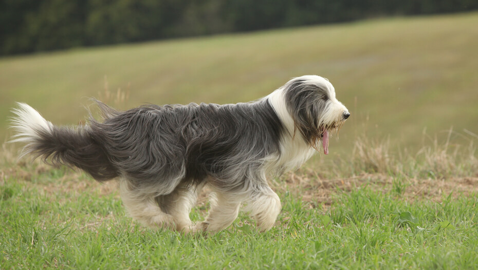 Bearded Collie on the field
