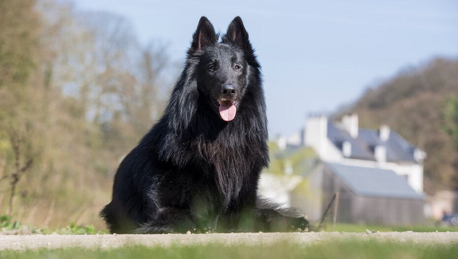 Belgian Shepherd Groenendael sitting on the ground