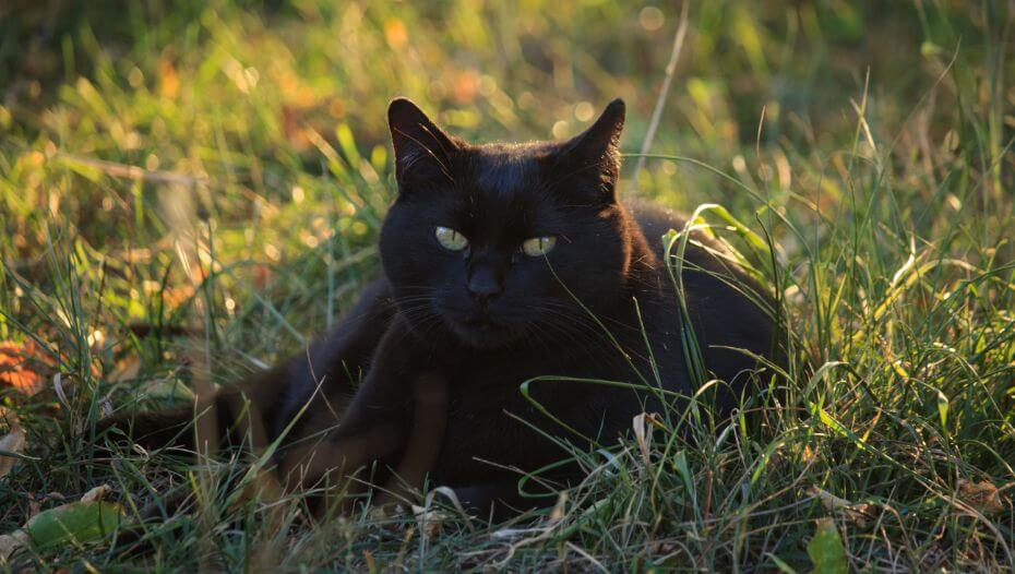 Bombay cat is lying on the flowers field