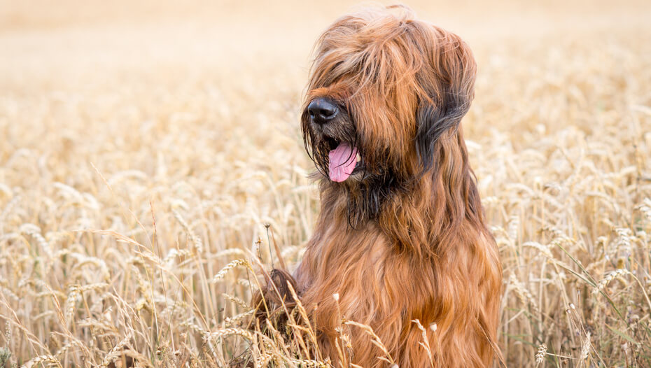 Briard sitting in the field