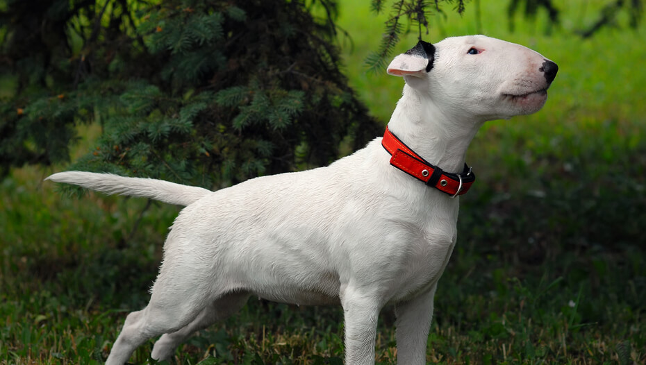 Bull Terrier standing on the grass