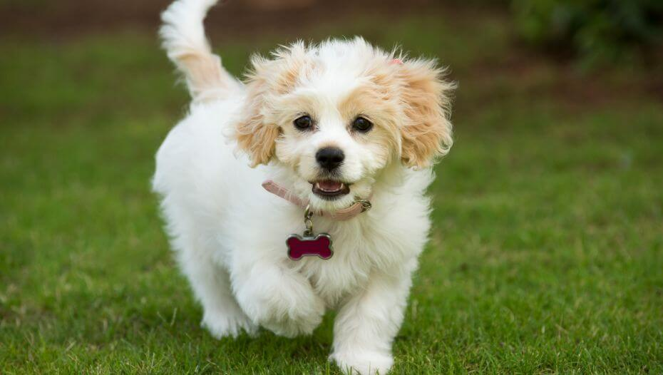 Cavachon dog walking on green grass
