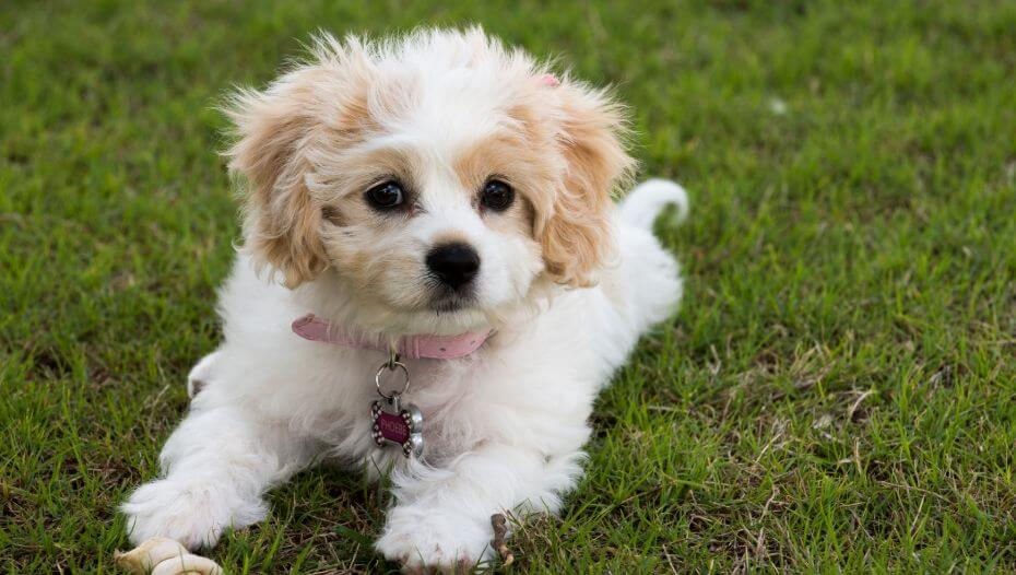 Cavachon dog laying on green grass