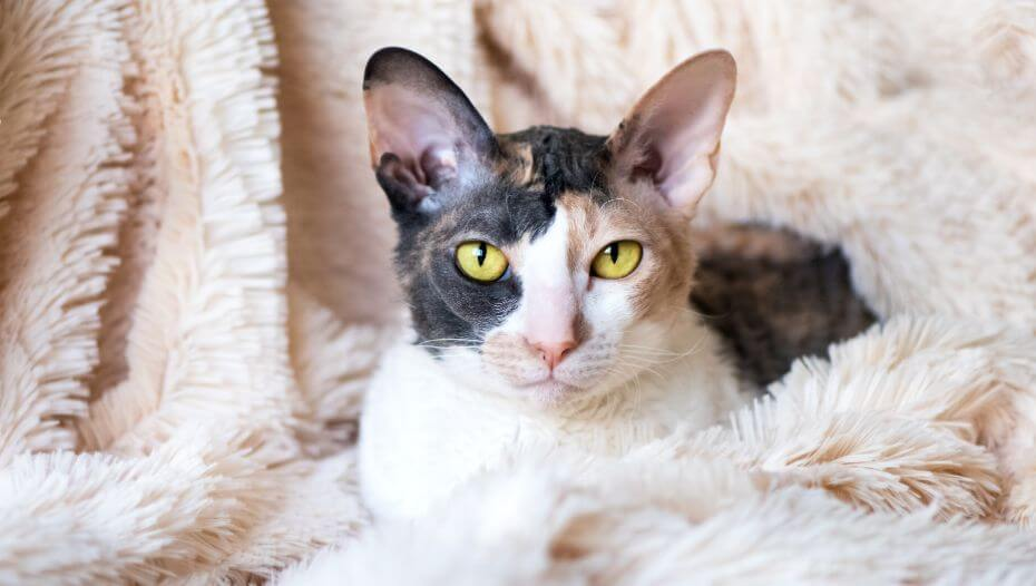 Cornish Rex cat is lying on a blanket