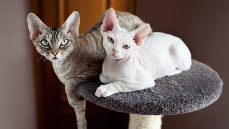 Two Devon Rex cats are having a nap together