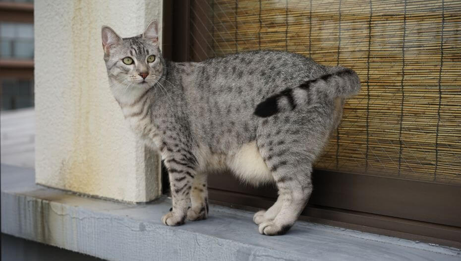 Pregnant Egyptian Mau cat is walking in the town
