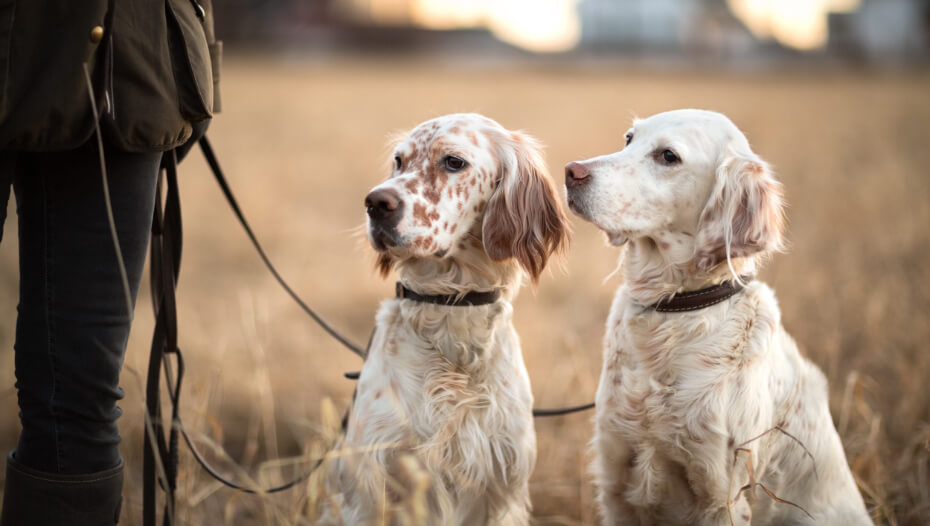 Two white English setters looking at owner.