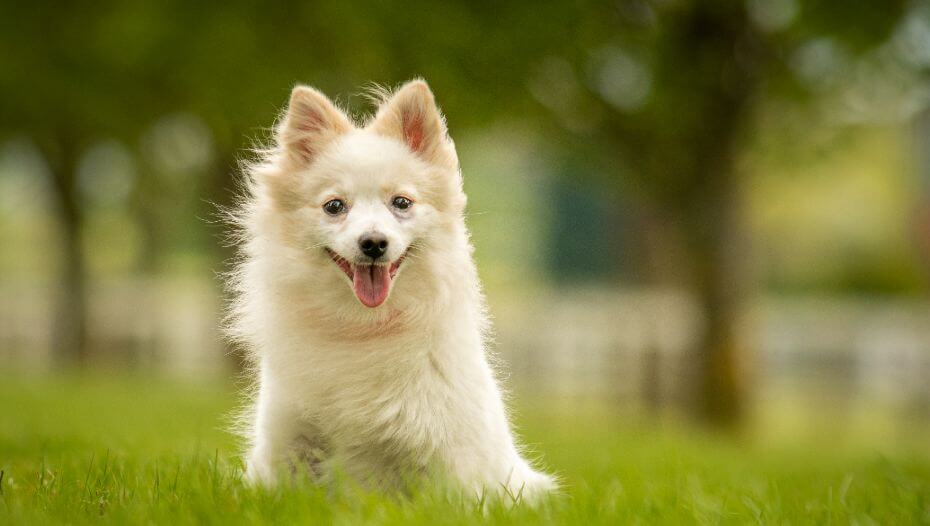 Light German Spitz sitting in the grass