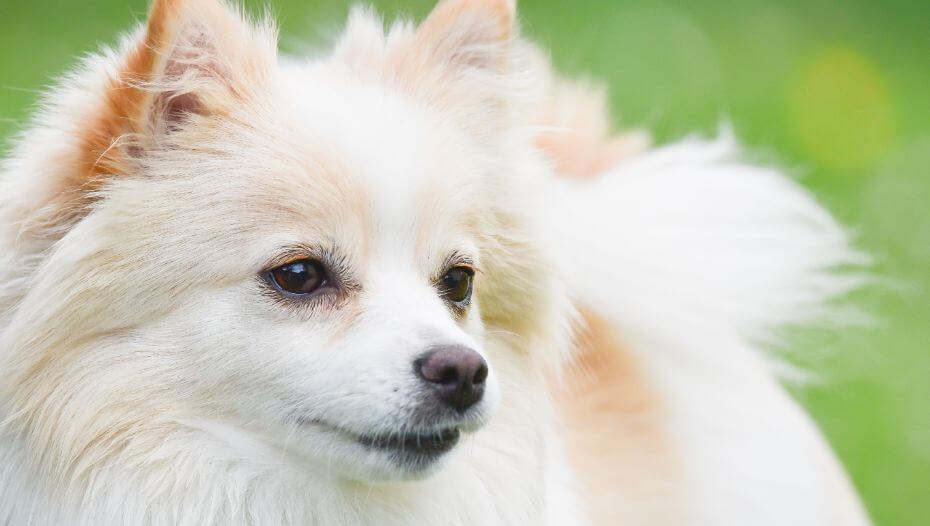 German Spitz in the field