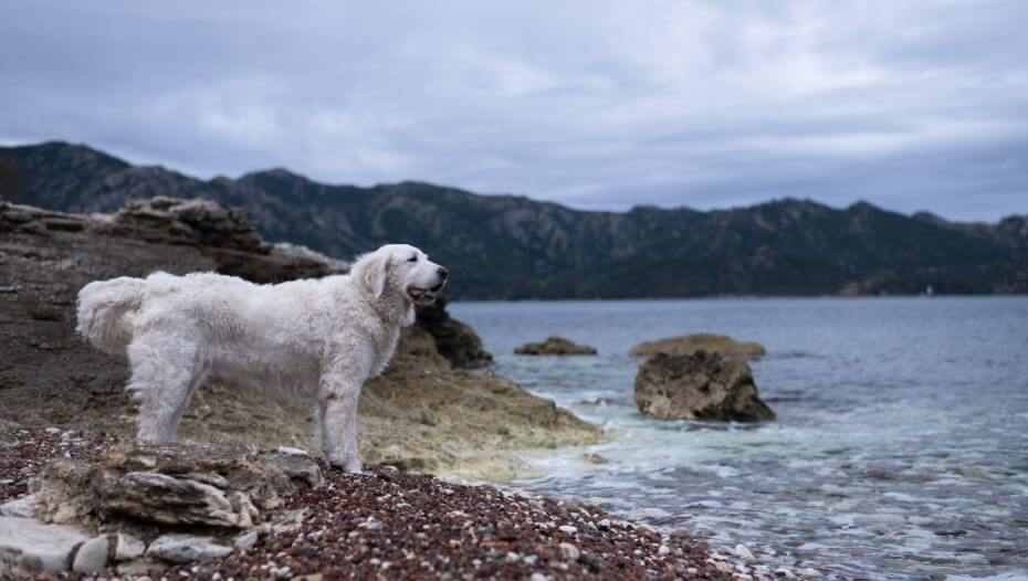 Hungarian Kuvasz is standing on the beach by the lake