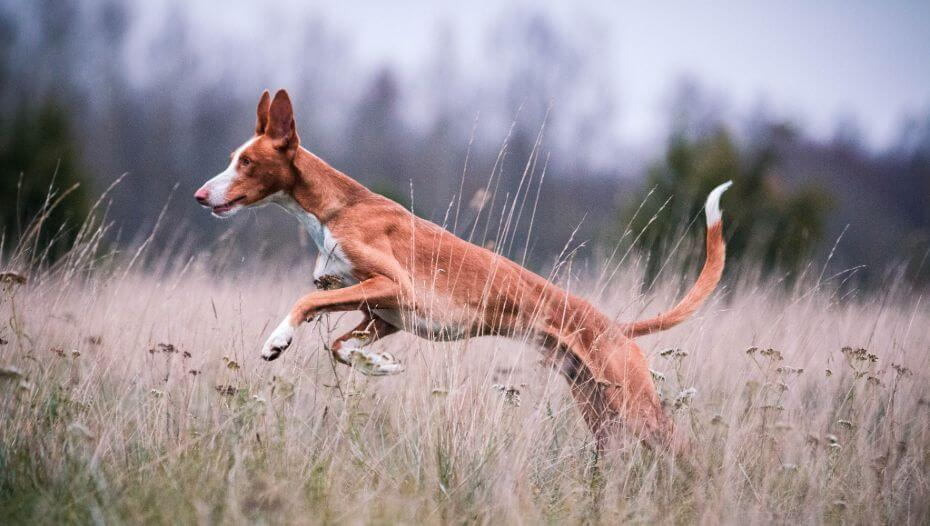 Ibizan Hound is jumping in the field