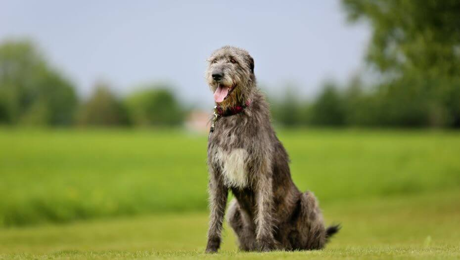 Irish Wolfhound is standing on the grass in a warm spring day