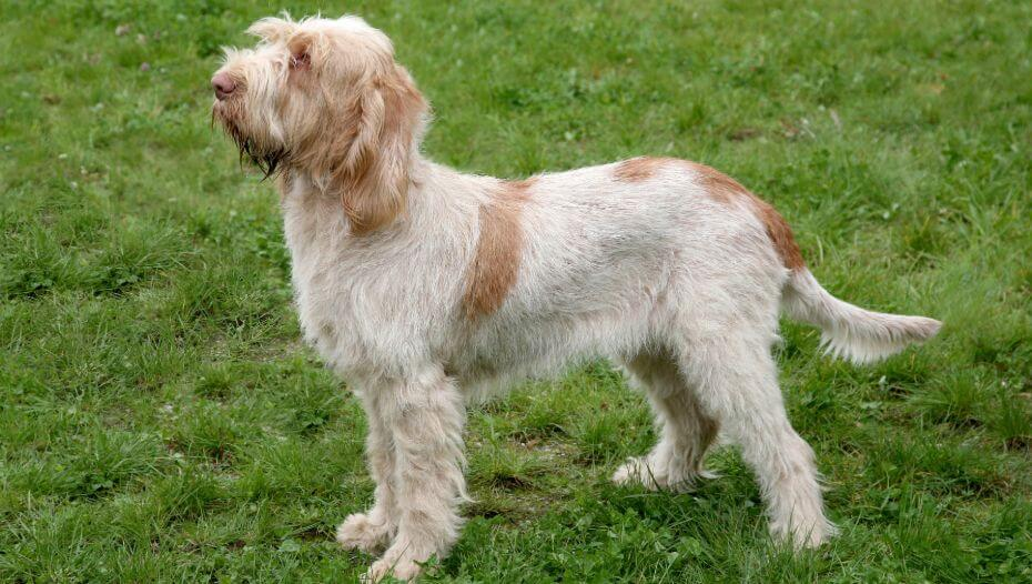 Italian Spinone standing on the grass