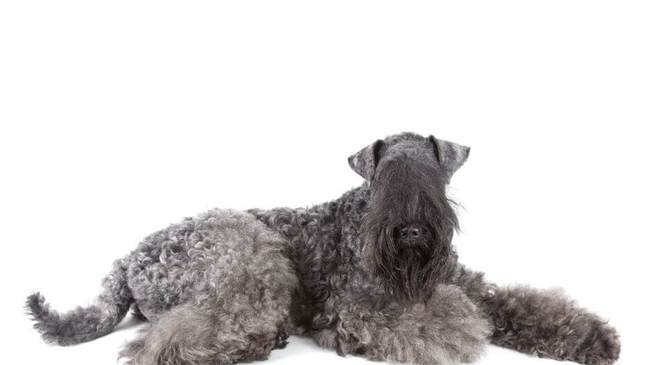 Kerry Blue Terrier posing in front of the camera
