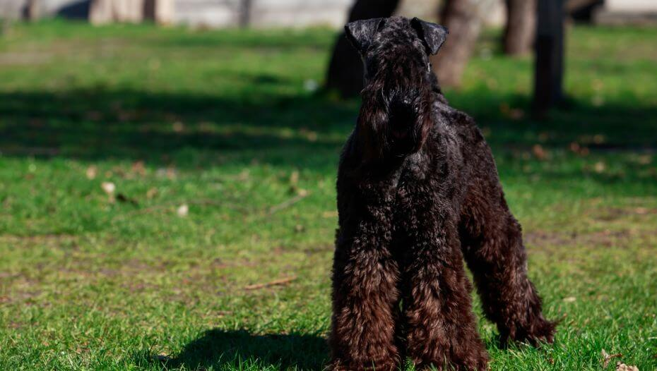 Kerry Blue Terrier standing on the grass