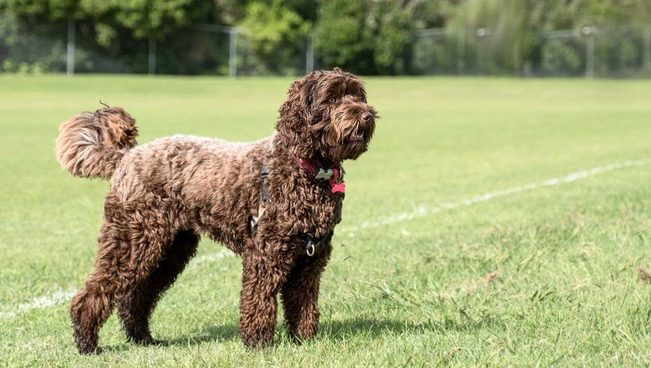 large brown dog standing on grass field
