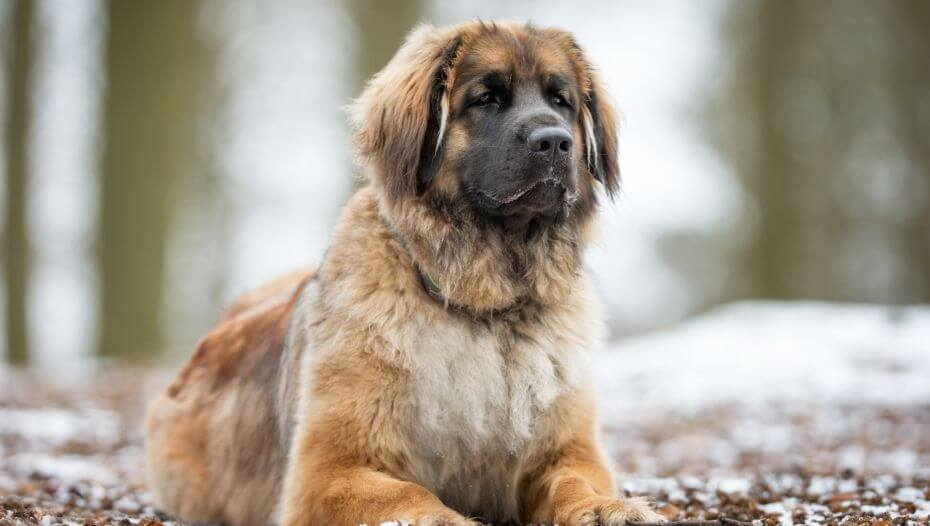 Leonberger is lying near a snowy forest