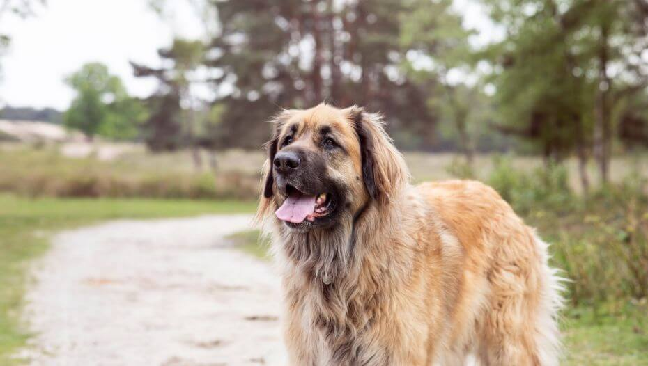 Leonberger is standing on a path near the forest