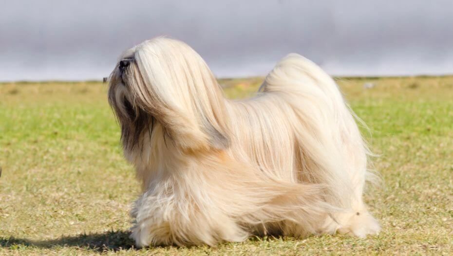 Lhasa Apso is standing and the wind is blowing a fur