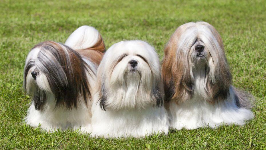 Three Lhasa Apso are lying on the grass