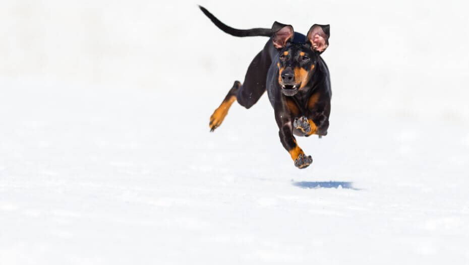 Dog running fast on a snow