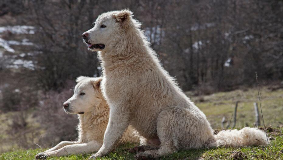Two Maremma Sheepdogs are having a rest on the lawn