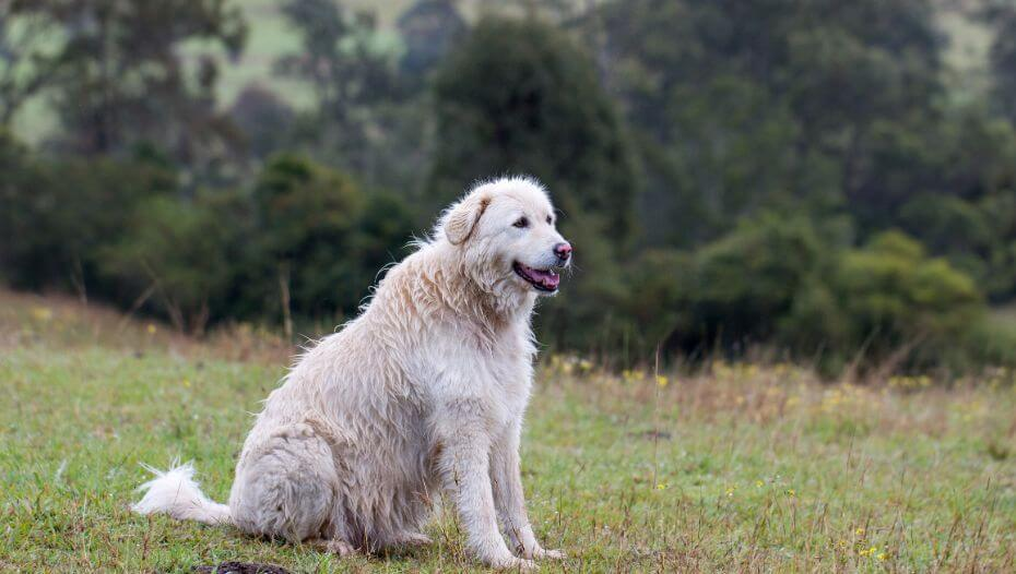 Maremma Sheepdog is standing near the forest