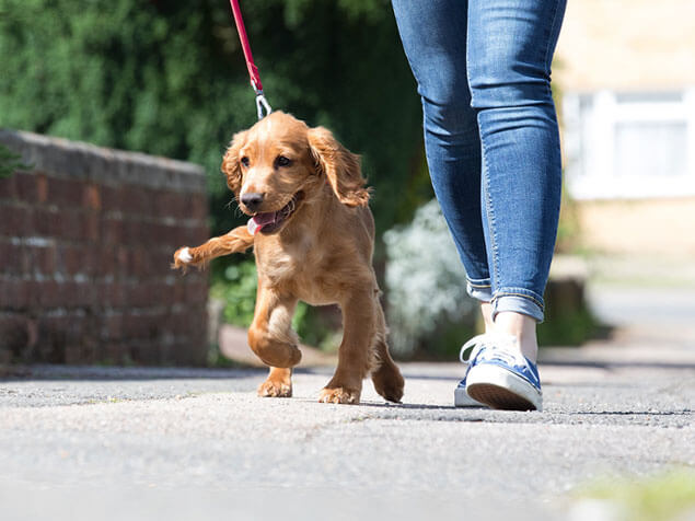 Puppy walking next to owner on a lead