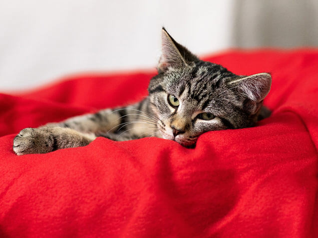 Cat lying on the red pillow