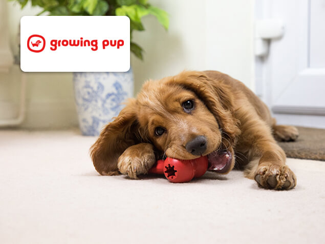 puppy chewing a red toy