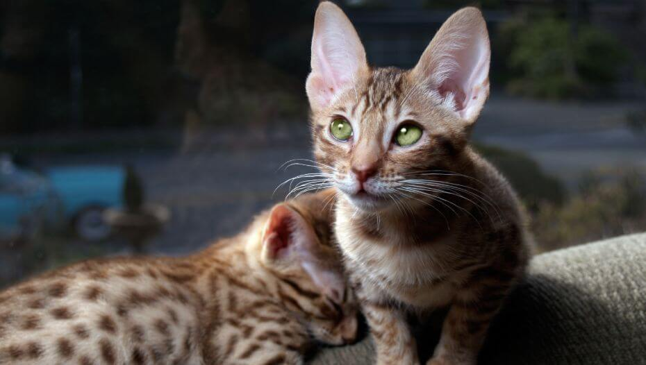 Two Ocicat kittens are preparing for a sleep