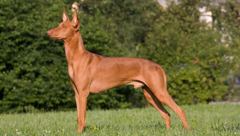 Pharaoh Hound standing in front of bushes