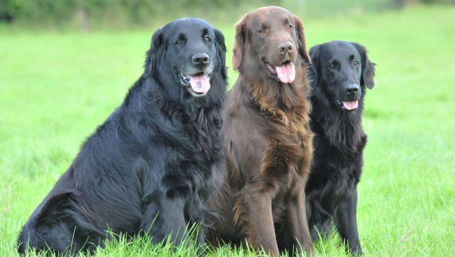 Three Flat-Coated Retrievers sitting on the grass