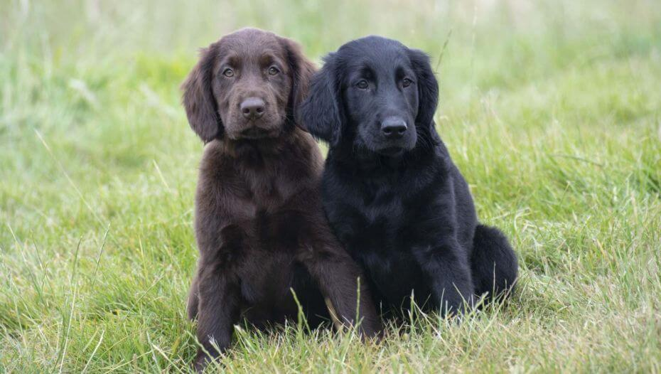 Black and brown Flat Coated Retriever puppies